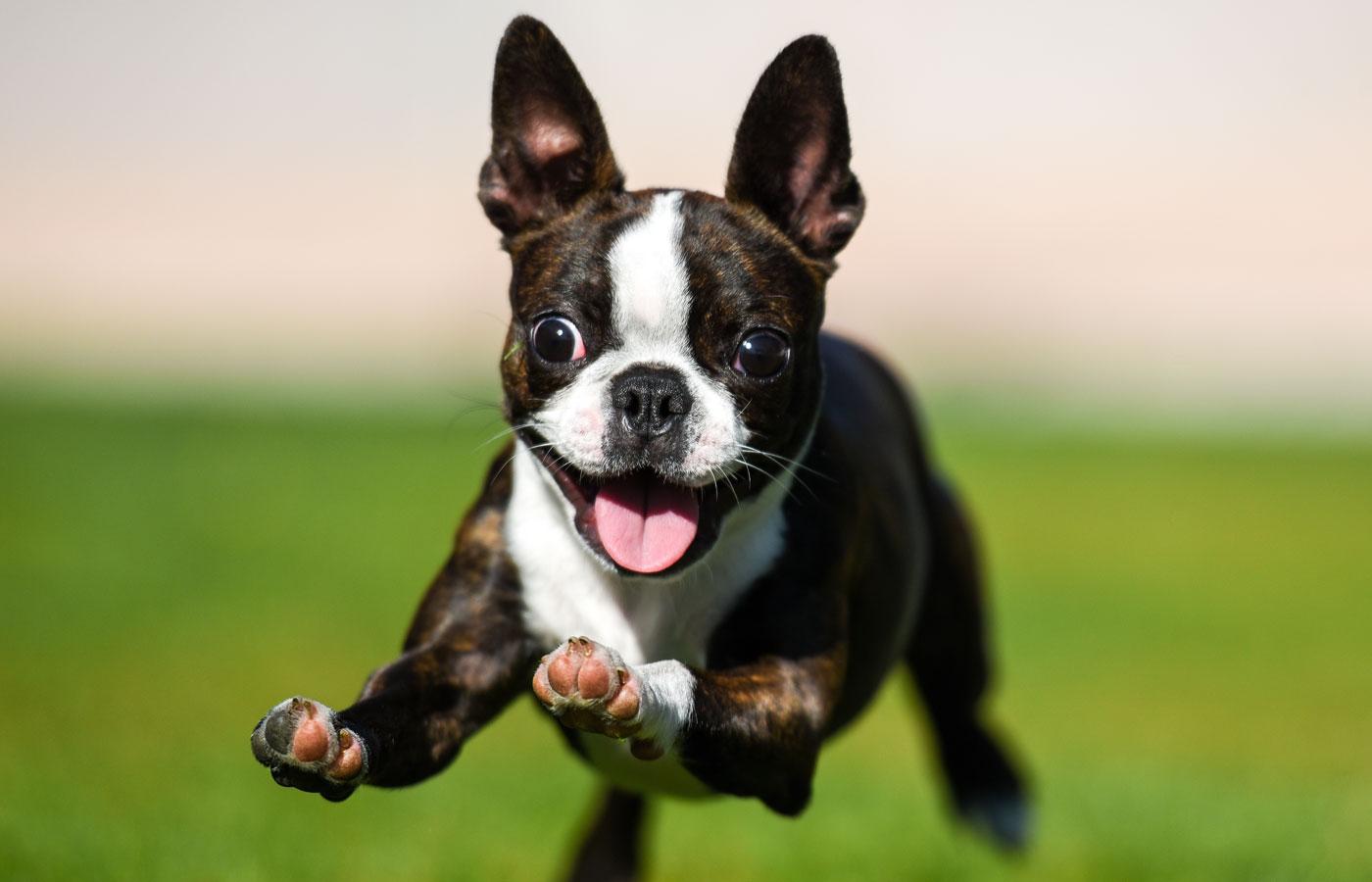Boston terrier puppy running through the yard